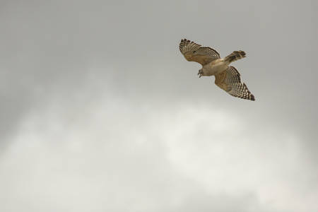 Red shouldered hawk, Buteo lineatus, flying over the swamp at Orlando Wetlands Park in Christmas, Florida. Stock Photo