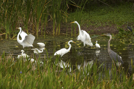 Great egrets, Ardea alba, displaying with wings dramatically outspread in a swamp at Orlando Wetlands Park in Christmas, Florida.