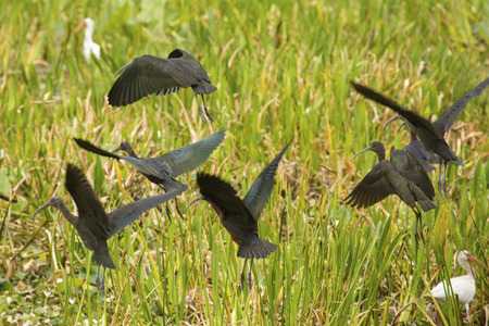 wetland conservation: Group of glossy ibises, Plegatis falcinellus, taking flight in the swamp at Orlando Wetlands Park in Christmas, Florida.
