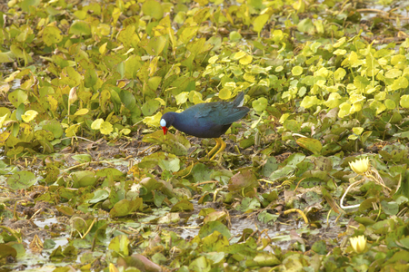 wetland conservation: Purple gallinule, Porphyrio martinicus, walking over water hyacinths in a swamp at Orlando Wetlands Park in Christmas, Florida. Stock Photo