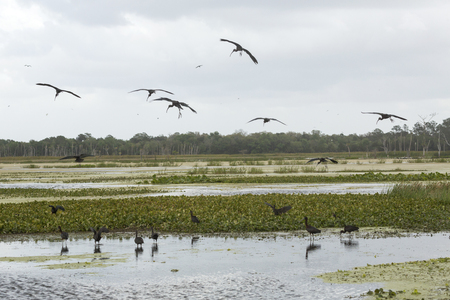 wetland conservation: Several glossy ibises, Plegatis falcinellus, taking flight from a swamp at Orlando Wetlands Park in Christmas, Florida.
