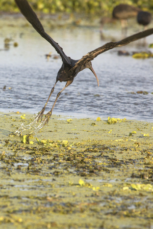 Glossy ibis, Plegatis falcinellus, taking off from a swamp with water streaming from its feet at Orlando Wetlands Park in Christmas, Florida.