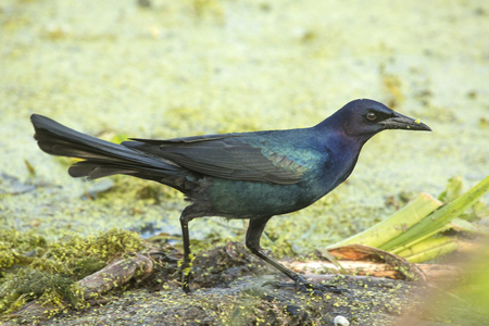 Male boat-tailed grackle, Quiscalus major, with iridescent wings standing in a swamp at Orlando Wetlands Park in Christmas, Florida.