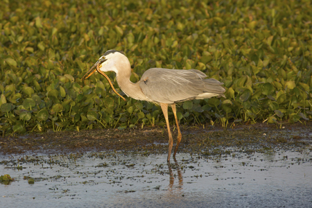 ardea: Great blue heron, Ardea herodias, eating a water snake while standing in a swamp at Orlando Wetlands Park in Christmas, Florida.