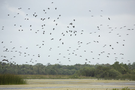 Large flock of glossy ibises, Plegatis falcinellus, flying over a swamp at Orlando Wetlands Park in Christmas, Florida.