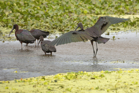 Glossy ibis, Plegatis falcinellus, wading in a swamp with its iridescent wings outspread at Orlando Wetlands Park in Christmas, Florida.