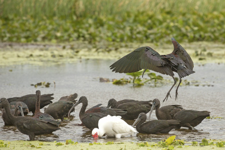 Glossy ibis, Plegatis falcinellus, landing in a swamp next to others with its iridescent wings outspread at Orlando Wetlands Park in Christmas, Florida. Stock Photo