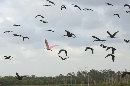 Roseate spoonbill, Platalea ajaja, flying among glossy ibises, Plegatis falcinellus, over a swamp at Orlando Wetlands Park in Christmas, Florida.