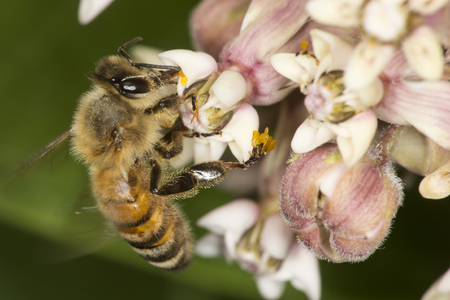 Western honey bee, Apis mellifera, foraging on a milkweed flower at the Belding Wildlife Management Area in Vernon, Connecticut.