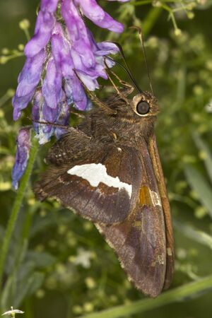 Silver-spotted skipper, Epargyreus clarus, on purple cow vetch flower, Vicia cracca, in a meadow at the Belding Wildlife Management Area in Vernon, Connecticut. Stock Photo