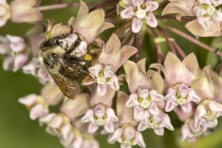 Bumble bee, Bombus sp., with large yellow pollen baskets, gathering nectar from a milkweed flower at the Belding Wildlife Management Area in Vernon, Connecticut. Stock Photo