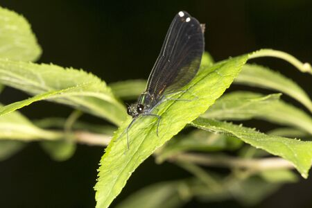 Ebony jewel-winged damselfly, Calopteryx maculata, at the Belding Wildlife Management Area in Vernon, Connecticut. Stock Photo