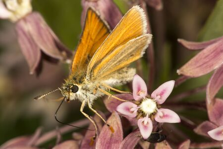 European skipper, Thymelicus lineola, on milkweed flowers at the Belding Wildlife Management Area in Vernon, Connecticut.