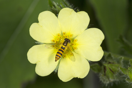 Syrphid fly, a type of hover fly, genus Sphaerophoria, a bee mimic, nectaring on a sulphur cinquefoil flower, Potentilla recta, in a meadow at the Belding Wildlife Management Area in Vernon, Connecticut. Stock Photo
