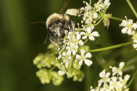 Bumble bee, Bombus sp., with pollen on its face, visiting a Queen Annes Lace flower, Daucus carota, at Mount Sunapee State Park in Newbury, New Hampshire.