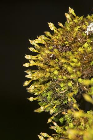 Ulota moss, Ulota crispa, growing on bark in a moist woods in Mount Sunapee State Park in Newbury, New Hampshire. Stock Photo