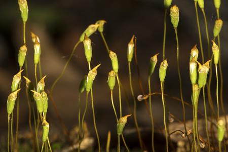 Capsules of hair cap moss, Polytrichum ohioense, producing spores. Stock Photo