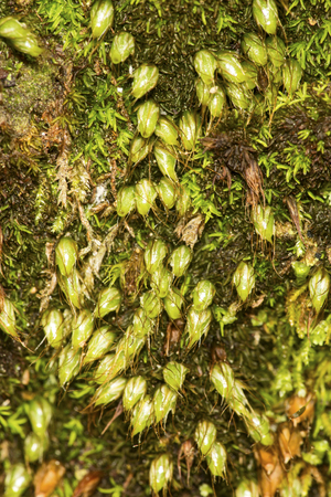 Nut moss, Diphyscium foliosum, looking like scared rabbits in the grass according to Dr. William Campbell Steere, with very short sporophytes growing Stock Photo