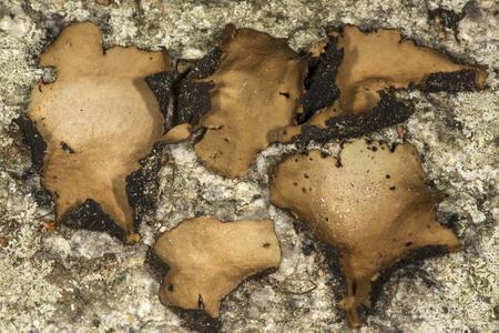 Umbilicate lichen, Umbillicaria americana, on rock face