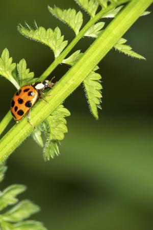 Ladybug, Coccinellidae, on a plant stem