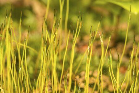 Young sporophytes of a Dicranum moss, still photosynthetic Stock Photo