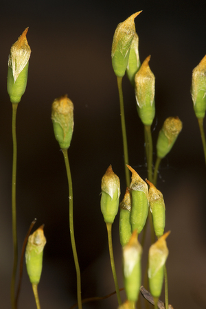 Capsules of hair cap moss, Polytrichum ohioense, producing spores at Case Mountain Reserve in Manchester, Connecticut. Stock Photo