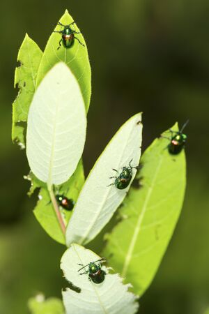 Group of Japanese beetles, Popillia japonica, on dogbane leaves at the Belding Wildlife Management Area in Vernon, Connecticut.