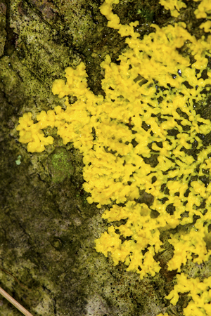 protista: Yellow slime mold, also called dog vomit slime mold, Physarum polycephalum, growing over a fallen log in the Belding Wildlife Management Area of Vernon, Connecticut. Stock Photo