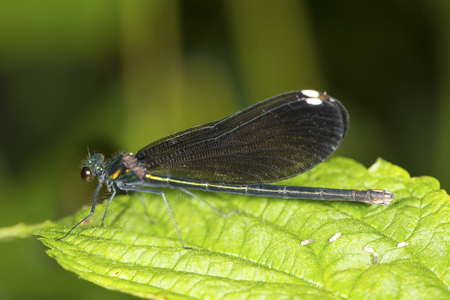 Ebony jewelwing damselfly female, Calopteryx maculata, on a leaf at the Belding Wildlife Management Area in Vernon, Connecticut.
