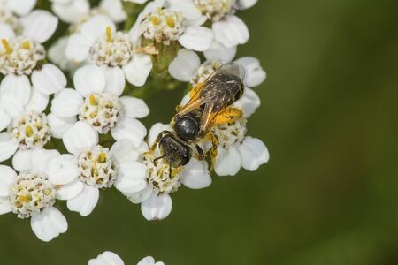 windsor: Honey bee, Apis mellifera, probing white yarrow flowers while covered in orange pollen at the Donnelly Preserve in South Windsor, Connecticut. Stock Photo