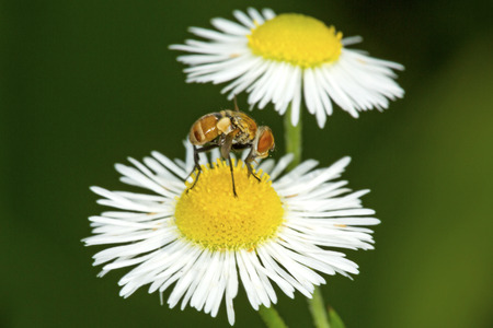 Golden hoverfly on a daisy flower at the Donnelly Preserve in South Windsor, Connecticut.