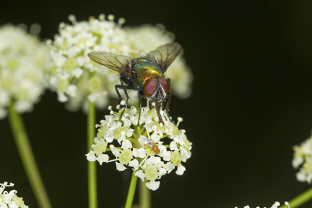 Green bottle fly, Lucilia sericata, facing the camera on a white flower of poison hemlock at the Donnelly Preserve in South Windsor, Connecticut. Foto de archivo