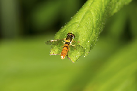 Hoverfly, syrphidae, on a leaf at the Donnelly Preserve in South Windsor, Connecticut.
