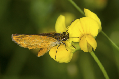 European skipper, Thymelicus lineola, probing for nectar on yellow flowers of birdfoot trefoil, Lotus corniculatus, at the Donnelly Preserve in South Windsor, Connecticut. Stock Photo