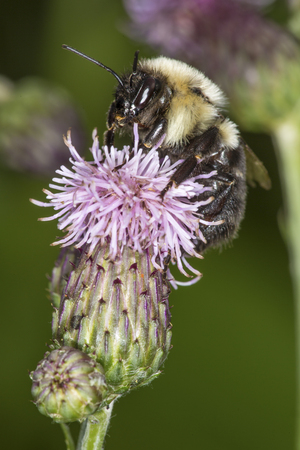 Bumblebee, Bombus sp., visiting a swamp thistle flower in the Donnelly Preserve, South Windsor, Connecticut. Stock Photo