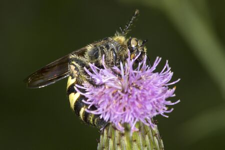 Typhiid wasp probing for nectar on a lavender thistle flower at the Donnelly Preserve in South Windsor, Connecticut.