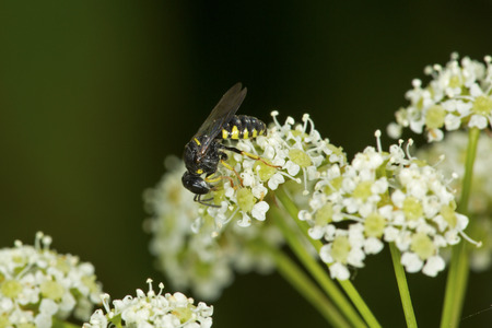 Typhiid wasp on flowers of poison hemlock at the Donnelly Preserve in South Windsor, Connecticut.