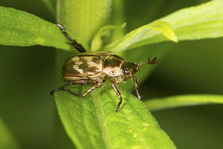 Oriental beetle, Exomala orientalis, with pronged antennae on leaves at the Donnelly Preserve in South Windsor, Connecticut. Stock Photo
