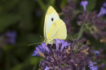 Cabbage white butterfly, Pieris rapae, on a purple flowering mint at the Donnelly Preserve in South Windsor, Connecticut.