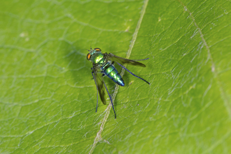 Long legged fly on a leaf at the Donnelly Preserve in South Windsor, Connecticut. Stock Photo