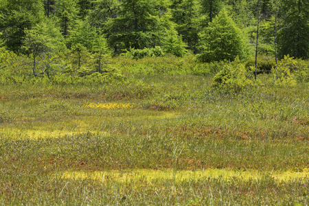 Classic kettle hole peat bog with a Sphagnum moss floating mat at Philbrick-Cricenti Bog in New London, New Hampshire.
