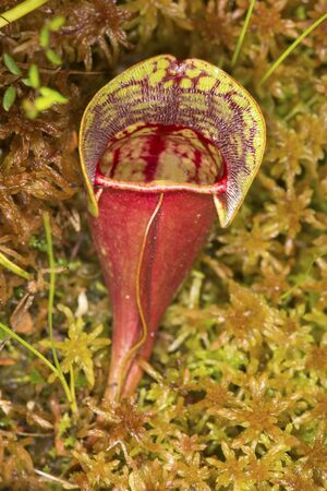 Closeup of a blood-red leaf of the insectivorous pitcher plant, Sarracenia purpurea, in Sphagnum moss at the Philbrick-Cricenti Bog in New London, New Hampshire. Stock Photo