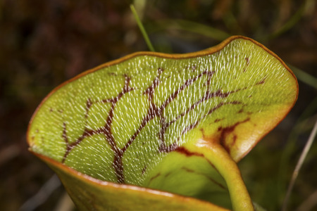 Closeup of a single leaf of an insectivorous pitcher plant, Sarracenia purpurea, with silvery downward pointing hairs at the Philbrick-Cricenti Bog in New London, New Hampshire. Stock Photo