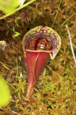 turba: Closeup de una hoja de color rojo sangre de la planta de lanzador insectívora, Sarracenia purpurea, en el musgo Sphagnum en el Bog Philbrick-Cricenti en New London, New Hampshire. Foto de archivo
