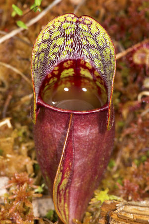 northeastern: Closeup of a blood-red leaf of the insectivorous pitcher plant, Sarracenia purpurea, filled with digestive fluids and growing in Sphagnum moss at the Philbrick-Cricenti Bog in New London, New Hampshire.