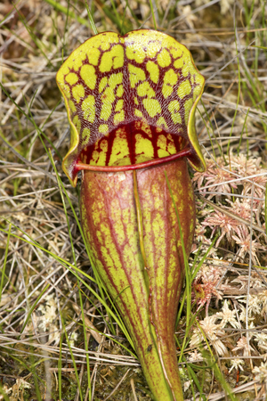 Single leaf of an insectivorous pitcher plant, Sarracenia purpurea, with blood-red vessels, growing in Sphagnum moss at the Philbrick-Cricenti Bog in New London, New Hampshire.