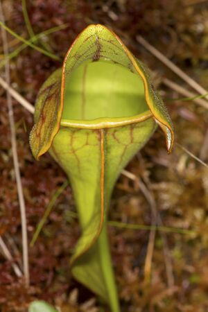 Single leaf of an insectivorous pitcher plant, Sarracenia purpurea, with silvery downward pointing hairs in Sphagnum moss at the Philbrick-Cricenti Bog in New London, New Hampshire.