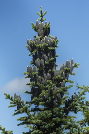 Top of a balsam fir tree, Abies balsamea, with abundant female cones on Mt. Sunapee in Newbury, New Hampshire. 版權商用圖片