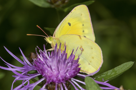 Cabbage white butterfly, Pieris rapae, on a purple flowering knapweed at Mt. Sunapee State Park in Newbury, New Hampshire.