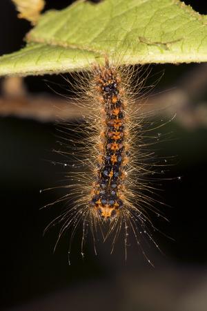 Gypsy moth caterpillar, Lymantria dispar, hanging from a leaf in Shenipsit State Forest in Somers, Connecticut. Reklamní fotografie